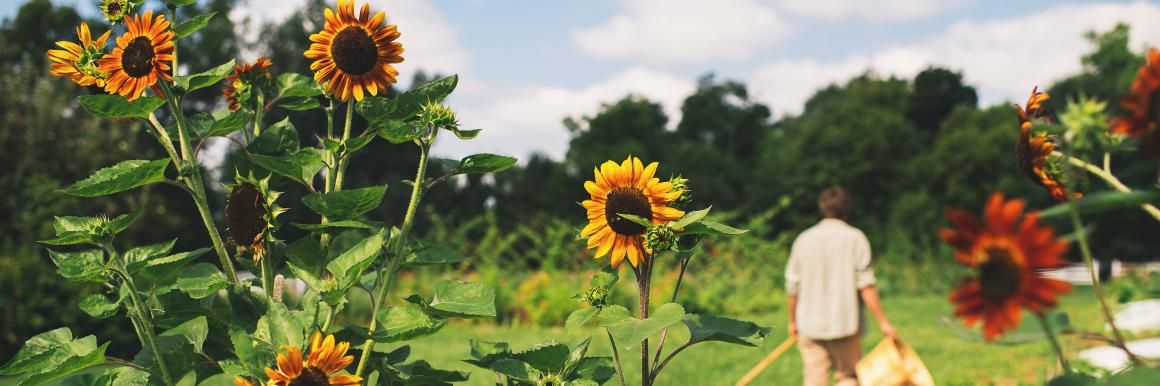 Sunflowers in the Garden of Shaker Village