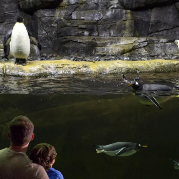 A family views the penguin tank at Newport Aquarium in Newport, Kentucky