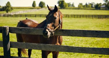 A brown horse hangs its head over an equestrian fence on a Kentucky horse farm