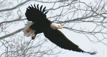 An eagle soars through a treetop in Kentucky