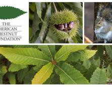 The American Chestnut Foundation Photo