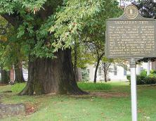 Owensboro's Sassafras Tree Photo