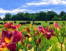 Antioch Daylily Gardens Photo