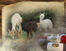 Eagle Bend Alpacas Photo